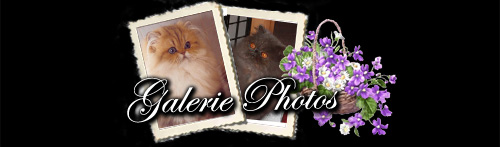 galerie photos chatons persans